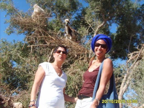 Les chèvres dans l'arganier